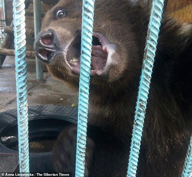 Un urs brun a smuls bratul unei femei si l-a mancat