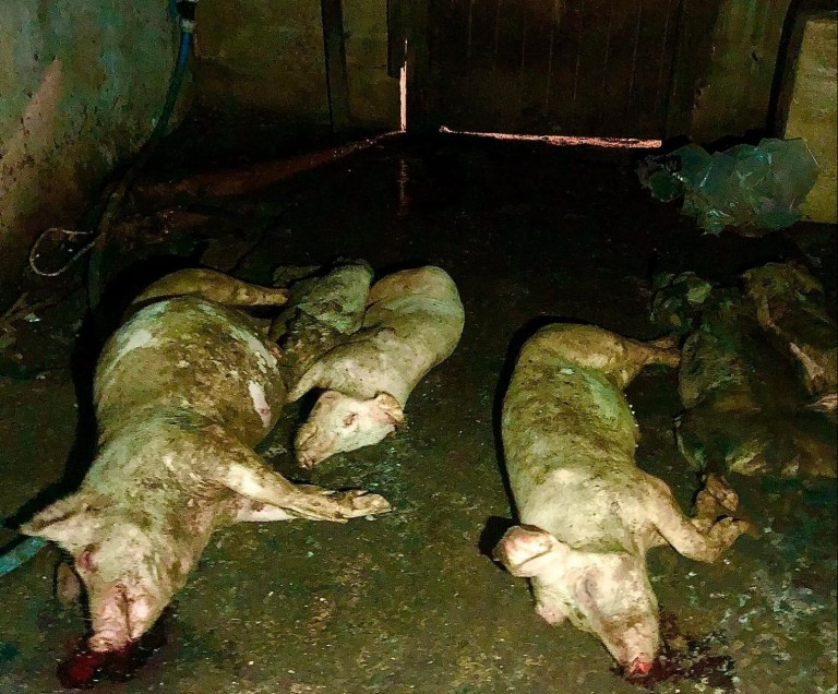 Porci morți la o ferma din Irlanda de Nord