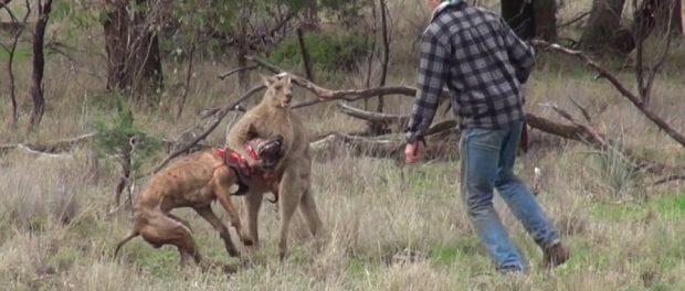 Un bărbat a făcut KO un cangur în Australia pentru a-si salva câinele