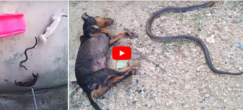 Doi câini și-au sacrificat viața pentru a salva de o cobră mortală un copil