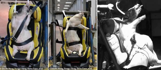 Porci vii folosiți ca manechine de test în accidente la un laborator din China