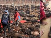 Cel mai mare măcel de animale din lume a început în Nepal