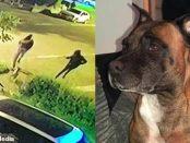 BULDOGUL EROU care a pus pe fugă patru infractori periculoși înarmați cu macete