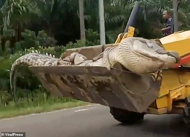 Un crocodil de o jumătate de tonă, a fost capturat, decapitat și îngropat în locuri diferite